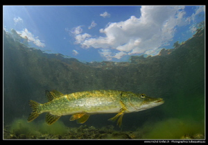 Young Adult Pike fish close to the surface... :O)... by Michel Lonfat 